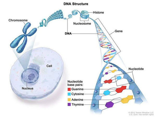 DNA structure. Credit: Terese Winslow